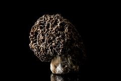 Morel Mushroom. On black background isolated in a studio Stock Images