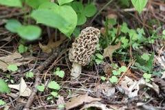 Morel Mushroom Stock Images
