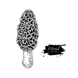 Morel mushroom hand drawn vector illustration. Sketch food  Stock Image