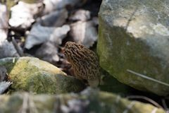 Morel mushroom with some rocks. Morel mushrooms hiding between two rocks stock image