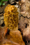 Morel Mushroom in the Woods. Morel Mushroom growing in a woodland area Stock Photo