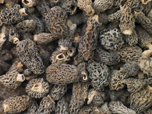 Morel Mushrooms. Close Up Of Morel Mushrooms Royalty Free Stock Images