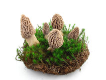 Morel mushrooms isolated Royalty Free Stock Image
