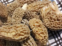 Morel Mushrooms Stock Photo