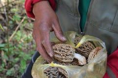 Morel mushrooms, Michoacan, Mexico Stock Photos
