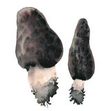 Morel mushrooms Morchella Royalty Free Stock Images