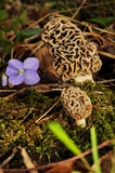 Morel mushrooms violet flower in woods Royalty Free Stock Photo