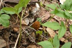 Morel pieczarka pod zieloną trawą fotografia stock