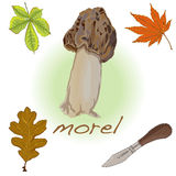 Morel, yellow morel, true morel and sponge morel - edible mushro Stock Image