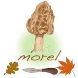 Morel, yellow morel, true morel and sponge morel - edible mushro. Oms (Morchella esculenta Stock Photos