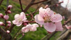 Morela kwiat i pączek Zdjęcie Stock
