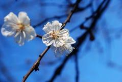 Morela kwiaty kwitnący w wiośnie Obraz Royalty Free