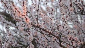Morela kwitnie w pierwszy promieniach słońce zdjęcie wideo