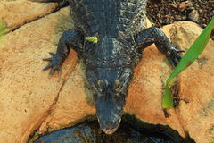 Morelet krokodil Royaltyfria Bilder
