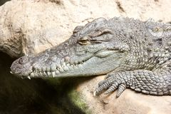 Morelet's Crocodile Royalty Free Stock Photography
