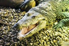 Morelet's Crocodile (Crocodylus moreletii). Morelet's Crocodile sitting on gravel Royalty Free Stock Photos