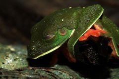 Morelet's Treefrog Sleeping Stock Image