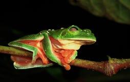 Morelet的Treefrog 免版税库存图片