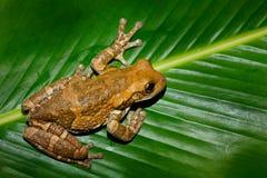 Moreletl ` s雨蛙, Agalychnis moreletii,在自然栖所,夜图象 与大绿色事假,后面光的青蛙 在t的动物 库存照片