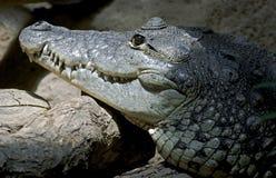 Morelets crocodile 1. Morelets crocodile. Latin name - Crocodylus moreletii Stock Photos