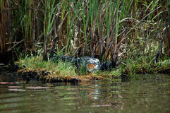Morelets krokodil på den Lamanai lagun Belize Arkivbilder