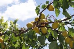 Moreli drzewo Fotografia Royalty Free