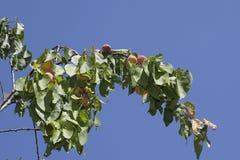 Moreli drzewo Zdjęcia Royalty Free