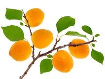 Moreli gałąź z owoc i liśćmi Obrazy Royalty Free