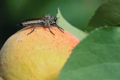 Moreli i rabusia komarnica Obraz Royalty Free