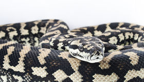 Morelia spilota cheynei - Jungle Carpet Python Stock Photography
