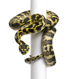 Morelia spilota variegata python, 1 year old. On pole in front of white background Stock Photo