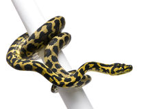 Morelia spilota variegata python, 1 year old. On pole in front of white background Stock Images
