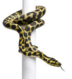 Morelia spilota variegata python, 1 year old. On pole in front of white background Royalty Free Stock Image