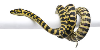 Morelia spilota variegata python, 1 year old. On pole in front of white background Royalty Free Stock Photos