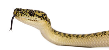 Morelia spilota variegata, with tongue out Stock Photo