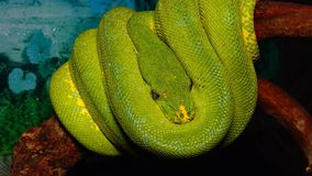 Morelia viridis, commonly known as the green tree python. Or as it is known in the herpetoculture hobby, chondro due to its former classification in the genus stock video footage