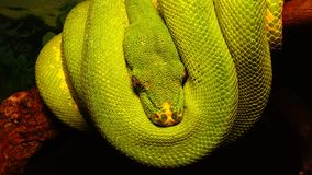 Morelia viridis, commonly known as the green tree python. Or as it is known in the herpetoculture hobby, chondro due to its former classification in the genus stock video
