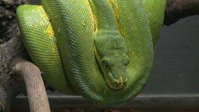 Morelia viridis som gemensamt är bekanta som den gröna trädpytonormen lager videofilmer