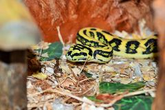 Morelia viridis. Morelia spilota is a large species of python in the genus Morelia, reaching between 2 to 4 metres (6.6 to 13.1 ft) in length and weighing up to Royalty Free Stock Photography