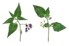Morelle boisée pressée et sèche de fleur D'isolement sur le blanc Image stock