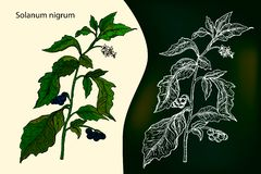 Morelle noire européenne solanum nigrum ou localement morelle, illustration libre de droits