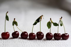 Morello cherries Royalty Free Stock Images