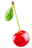 Morello cherry Stock Photo