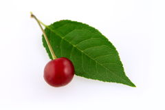 Morello cherry with leaf Royalty Free Stock Images
