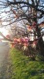 Morelowa vetet wiosna obraz stock