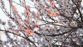 Morelowa wiosna kwitnie w pierwszy promieniach słońce zbiory wideo