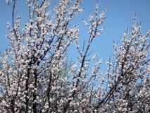 Morelowe gałąź zakrywać z mnogimi śnieżnobiałymi kwiatami Obraz Stock