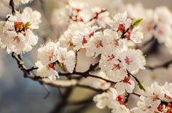 Morelowego drzewa kwiat zdjęcie stock