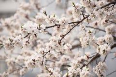 Morelowego drzewa kwiat zdjęcia royalty free