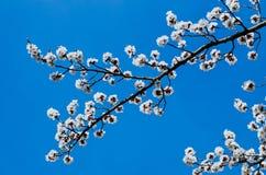 Morelowego drzewa kwiat fotografia royalty free